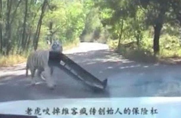 tigre-ataca-pareja
